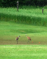 Sandhill cranes on a Rainbow Springs golf course.