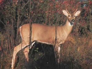 WhitetailDeer_77-InForest