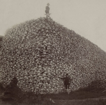 Some of the 10,000,000 bison that were nearly brought to extinction in the late 1870s. Photo: Wikipedia