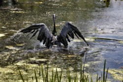 A Canada goose in the Kalamazoo River on July 27, 2010, following the oil spill. Photo by Jonathon Gruenke | Kalamazoo Gazette file